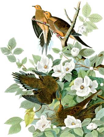 [Image: audubon_aves_america.jpg]